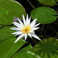 White water lily. Garden of the Egyptian Museum in Cairo